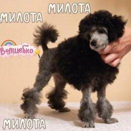 Собаки - Той пудель серебристый , 0