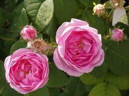 Рассада, саженцы, кустарники, деревья - Неукрывная чайная роза розового цвета, 0