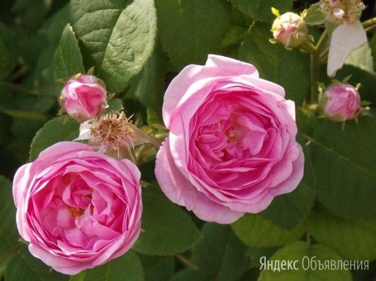 Неукрывная чайная роза розового и красного цвета по цене 349₽ - Рассада, саженцы, кустарники, деревья, фото 0