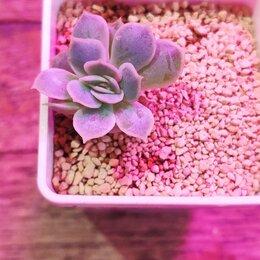 Комнатные растения - Суккулент Эхеверия онслоу |  Echeveria Onslow, 0