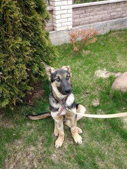 Собаки - Овчарка метис, щенок мальчик, 0