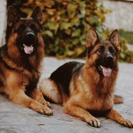 Собаки - Немецкая овчарка (щенки) , 0