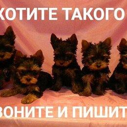Собаки - Супер мини и мини и стандарт йорки, 0