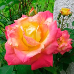 """Комнатные растения - Роза флорибунда """"Masquerade"""" (Маскарад)…, 0"""