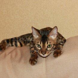 Кошки - Бенгальская кошка, 0