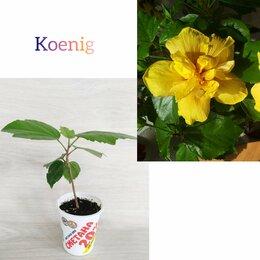 Комнатные растения - Гибискус, 0