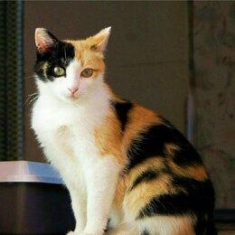 Кошки - Одинокая трёх-цветная кошечка ищет дом. г. Обнинск, 0