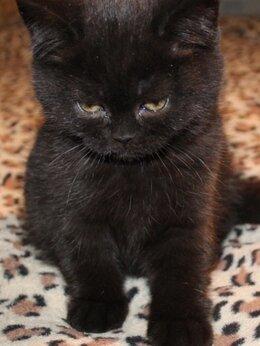 Кошки - Шотландка 3мес, 0