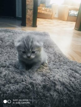 Кошки - Шотландские малыши, 0