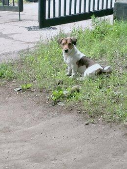 Собаки - Джек рассол терер для вязки, 0