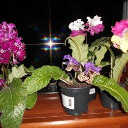 Комнатные растения - Стрептокарпус, 0
