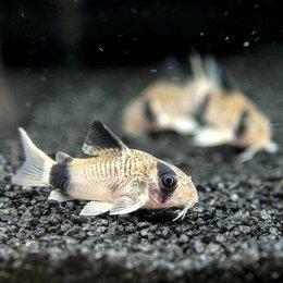 Аквариумные рыбки - Коридорас Панда донный сомик, мирный, неприхотливый, 0