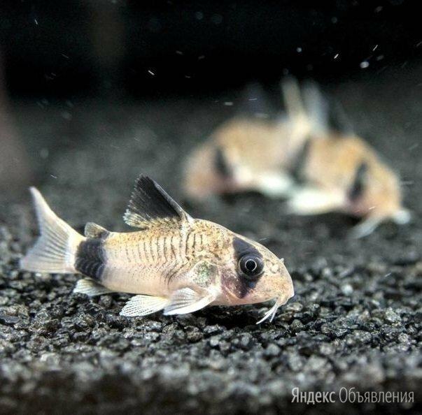 Коридорас Панда донный сомик, мирный, неприхотливый по цене 125₽ - Аквариумные рыбки, фото 0