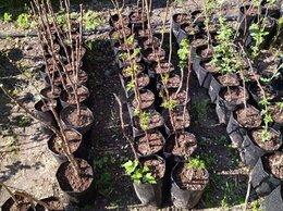 Рассада, саженцы, кустарники, деревья - Саженцы желтой малины Анна, 0