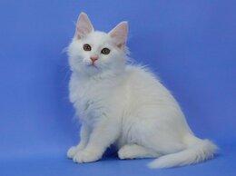 Кошки - Белый сибирский котенок, 0