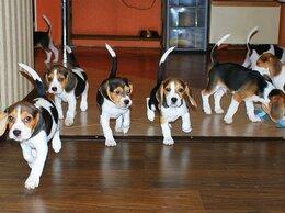 Собаки - Бигль щенки, 0
