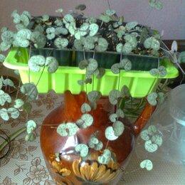 Комнатные растения - Церопегия Вуда, 0