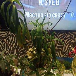 Комнатные растения - Цветок золотой ус, 0