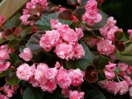 Комнатные растения - Бегония вечноцветущая махровая, 0
