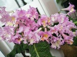 Комнатные растения - Продам детки и срезы стрептокарпуса, 0