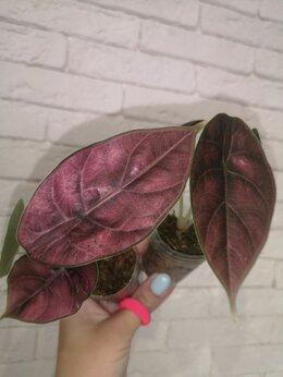 Комнатные растения - Алоказия Азлани , 0