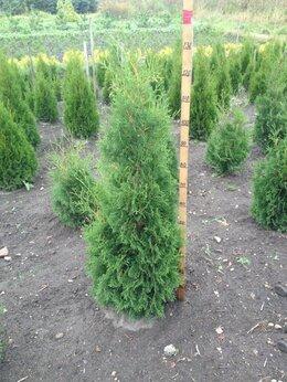 Рассада, саженцы, кустарники, деревья - Туя Колумна 80-100 см, 0