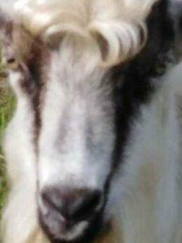 Сельскохозяйственные животные - Молодой козлик, 0