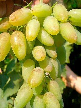 Рассада, саженцы, кустарники, деревья - Виноград Тимур и Новое столетие, 0