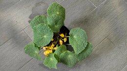 Комнатные растения - Взрослая Begonia microsperma (facicola), 0