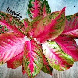 Комнатные растения - Аглаонема Kod Sedthee (домашняя) , 0
