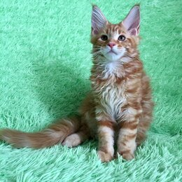Кошки - Мейн-кун котенок с документами, 0
