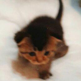 Кошки - Резерв красивых шотландских котят, 0