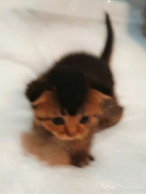 Резерв красивых шотландских котят по цене 7000₽ - Кошки, фото 0
