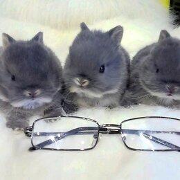 Кролики - Нидерландский карликовый кролик, 0