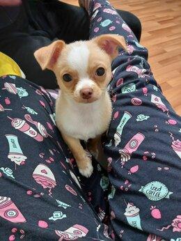 Собаки - Щенок чихуа, 3 месяца. Цена 6000, 0