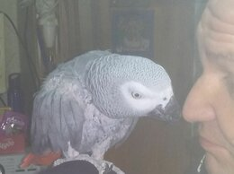 Птицы - Серый краснохвостый  говорящий попугай. , 0