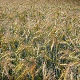 Семена - Продам семена озимой тритикале - сорт ТИМРЯЗЕВСКАЯ 150, 0
