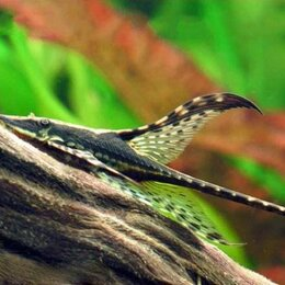 Аквариумные рыбки - Стурисома Панамская– аквариумная «стрекоза» (Sturisoma panamense) мирный сом, 0