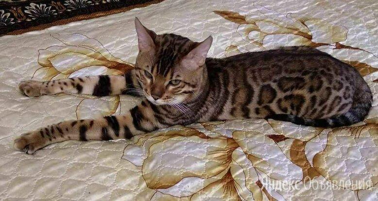 Бенгальский кот вязка  по цене 10000₽ - Услуги для животных, фото 0