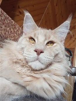 Кошки - Мейнкун на вязку, 0