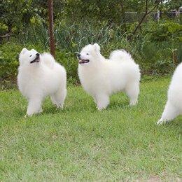 Собаки - Щенки самоедской собаки , 0