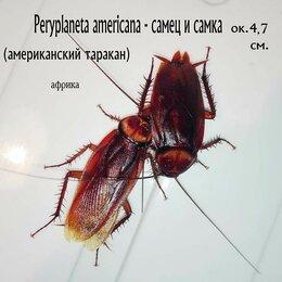 Корма  - Кормовой американский таракан 4см. для пауков, крупных ящериц, 0