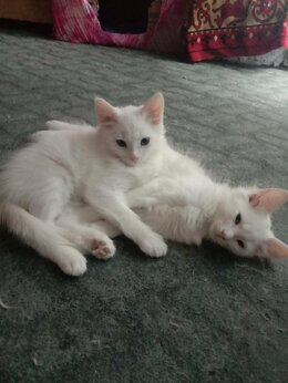 Кошки - Отдам котят , 0
