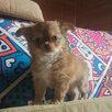 Мини девочка чихуахуа по цене 6000₽ - Собаки, фото 2
