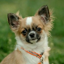 Собаки - Шикарные щенки чихуахуа с документами РКФ, 0