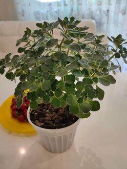 Комнатные растения - Аихризон дерево любви, 0