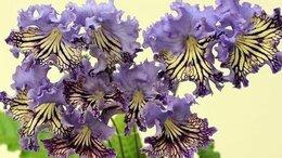 Комнатные растения - Стрептокарпус Гавайское Утро, 0