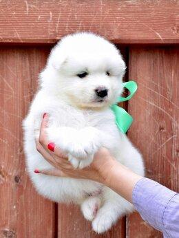 Собаки - Щенки самоедской лайки самоед, 0