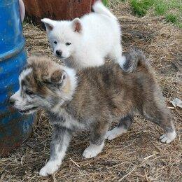 Собаки - Щенки акита ину , 0