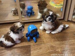 Собаки - Щенки ши-тцу, 0